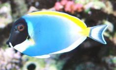 Powder blue tang or Powderblue surgeonfish is a common name of marine fish in… Marine Aquarium, Marine Fish, Saltwater Aquarium, Aquarium Fish, Aquarium Ideas, Pretty Fish, Beautiful Fish, Unicorn Fish, Tang Fish