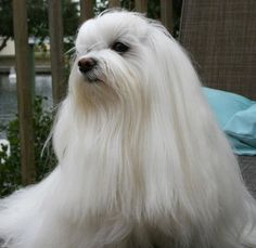 Missy~ beautiful Maltese ( If I keep her hair long)