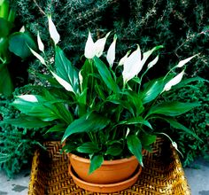 Garden Plants, Indoor Plants, House Plants, Pot Jardin, Inside Plants, Peace Lily, Organic Gardening Tips, Vegetable Gardening, Interior Plants