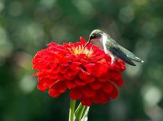 IMG_0836  Ruby-throated Hummingbird - Ahmad Shah