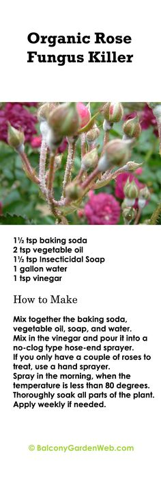 Make an organic rose fungus killer with the help of this recipe. All the products used are common in any home.
