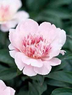 Do Tell  Fragrant 'Do Tell' is an award-winning unique peony from the 1940s known both for its Japanese form (wide petals with a mass of finer petaloids in the center) and pink color blend.