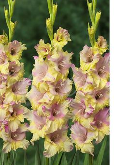 "Gladiolus ""Mon Amour"""