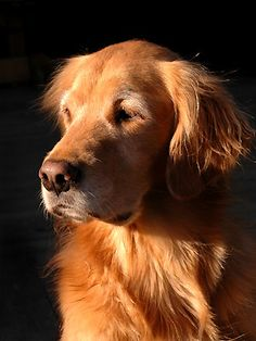 via Canadian Living  Willow  Our beautiful golden retriever Willow enjoying the sunset through the window.