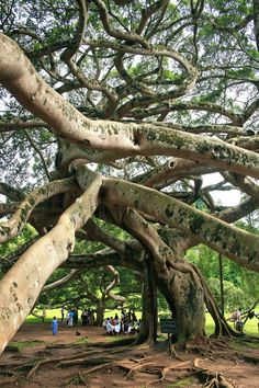 Peradeniya Garden in Sri Lanka