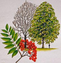 Rowan or mountain ash - Treecouncil of Ireland
