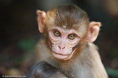 A rhesus monkey baby (Macaca mulatta).