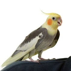 It's easiest to teach pet birds tricks that build on natural behaviors, which make training cockatiels to turn around on cue, shake hands and walk across a tightrope a possibility. With some practice and patience, you might be surprised by what your 'tiel can do! Here are three fun tricks to try with your pet cockatiel.