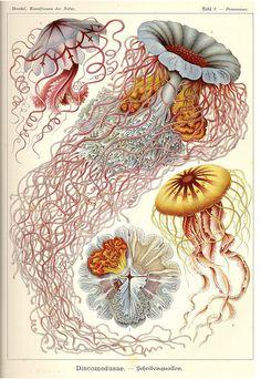 Ernest Haeckel, best biological illustrator ever.