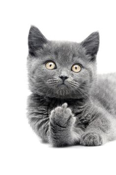 Cute grey funny kitty showing middle finger