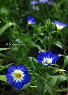 Petra Rosso' Garden. Blue & purple flower bed. Summer. Convolvulus