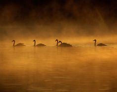 Trumpeter Swans in Arkansas