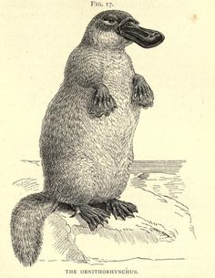 gravure d'ornithorynque http://www.behance.net/tristan-olphe