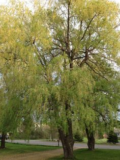 The Weeping Willows Planted in 1964