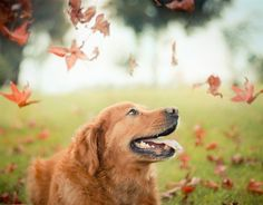 dog-photography-chuppy-golden-retriever-jessica-trinh-18 - https://www.facebook.com/different.solutions.page