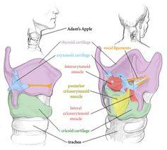 Laryngeal Anatomy flashcards | Quizlet