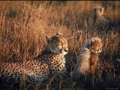 Mother Cheetah and Her Cub in Game Preserve in Africa    by John Dominis