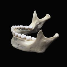 The Human Lower Jaw Bone or Mandible Is the Largest and Strongest Bone in the Face Photographic Print by Ralph Hutchings at AllPosters.com