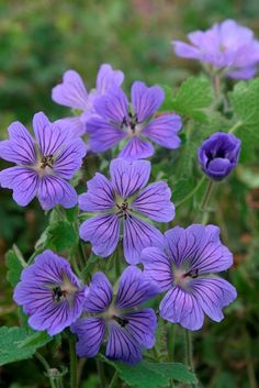 Geranium 'Philippe Vapelle' (G. Perennial Geranium, Cranesbill Geranium, Hardy Geranium, Lavender Flowers, Purple Flowers, Beautiful Flowers, Shade Garden Plants, Garden Shrubs, Garden Bird Feeders