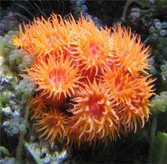 Orange Sun Coral (Tubastrea faulkneri)