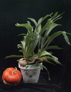 Maceta decorada a mano. Platycerium. Mexican Halloween, Platycerium, Skull, Plants, Decorated Flower Pots, Plant, Skulls, Sugar Skull, Planets