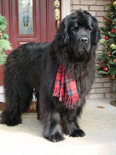 Beautiful dog in tartan scarf