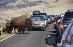 YELLOWSTONE NATIONAL PARK, Wyo. Park officials are reminding visitors to give space to wildlife near trails, boardwalks and other developed areas.