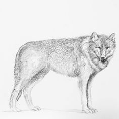 Sarah J. Loecker : step by step wolf illustration- Step by step photo process I used to draw my graphite only wolf illustration. Drawing Animals, Animal Drawings, How To Draw Fur, Wolf Illustration, Photo Processing, Natural History, Caricature, Graphite, Mammals