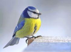 Mésange bleue                                                       …