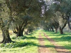 An Olive grove on Carol Drinkwater's olive farm called Appassionata. Great story.