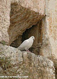Dove in the Western Wall . Jerusalem