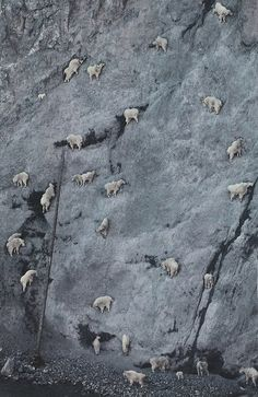 Not really goats but Rocky Mountain sheep - but just as agile as goats