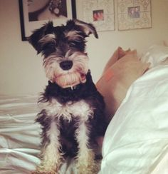 """schnauzer  This is Ruger's """" I swear I didn't chew your address book again"""" look second one tonight.  Little shit."""