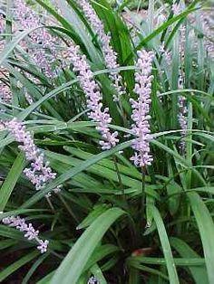 Liriope 'Evergreen Giant' plantsfordallas.com #plantsfordallas