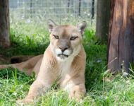 KC --- Purchase this print! #turpentinecreek #cougar