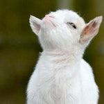 Smug little bastard of a goat. Smug little bastard of a goat. Cute Baby Animals, Farm Animals, Animals And Pets, Funny Animals, Nature Animals, Animal Memes, Wild Animals, Baby Goats, Tier Fotos