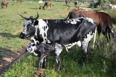 Miniature Breeds Of Cattle That Are Perfect For Small Farms African States, Loose Skin, Friesian, Rind, Livestock, Farm Animals, Miniatures, Pure Products, Highland Cattle