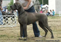 difference between european and american great danes - Google Search