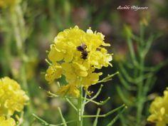 ナノハナ アブラナ 菜の花