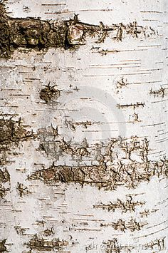 Photo about Birch tree bark texture - detail. Image of plant, background, moss - 51491343 Tree Rings, Tree Bark, Birch, Vintage World Maps, Trees, Stock Photos, Texture, Plants, Image