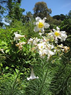 Lilium wallichianum is an Asian species of bulbous plants in the lily family native to the Indian Subcontinent and to Myanmar. It is native to India, as well as Nepal, Bhutan, and Myanmar
