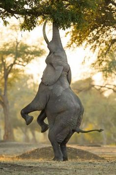 """Is this the Elephant version of the HANG IN THERE kitten poster? No, it's the """"Balancing Act."""" Marlon du Toit took this beautiful Animal Photo at Mana Pools, Zimbabwe. Animals And Pets, Baby Animals, Funny Animals, Cute Animals, Wild Animals, Large Animals, Happy Elephant, Elephant Love, Elephant Eating"""