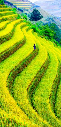 Rice field of terraces in Mu Cang Chai - YenBai - Vietnam   |