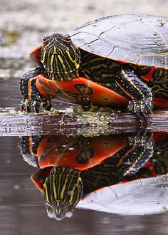 Painted Turtle Reflection