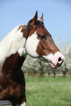 paint horse                                                                                                                                                                                 More