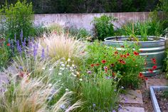Feather grass, blanket flowers, mealy blue sage and cornflowers in bloom in Austin in May - landscape design, xeric landscape