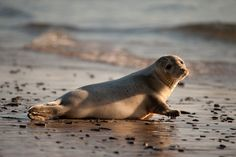 Grey Seal pup at Blasket Islands, Co. Kerry, Ireland