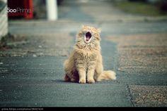 kitty cat yawning