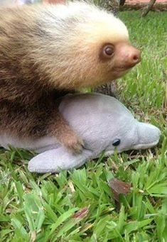 This orphaned sloth loves to hug his cuddly dolphin.