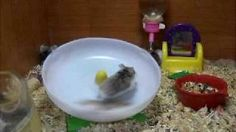 Hamsters are very interesting and funny animals. They certainly like to have fun, and this funny video clip proves it.